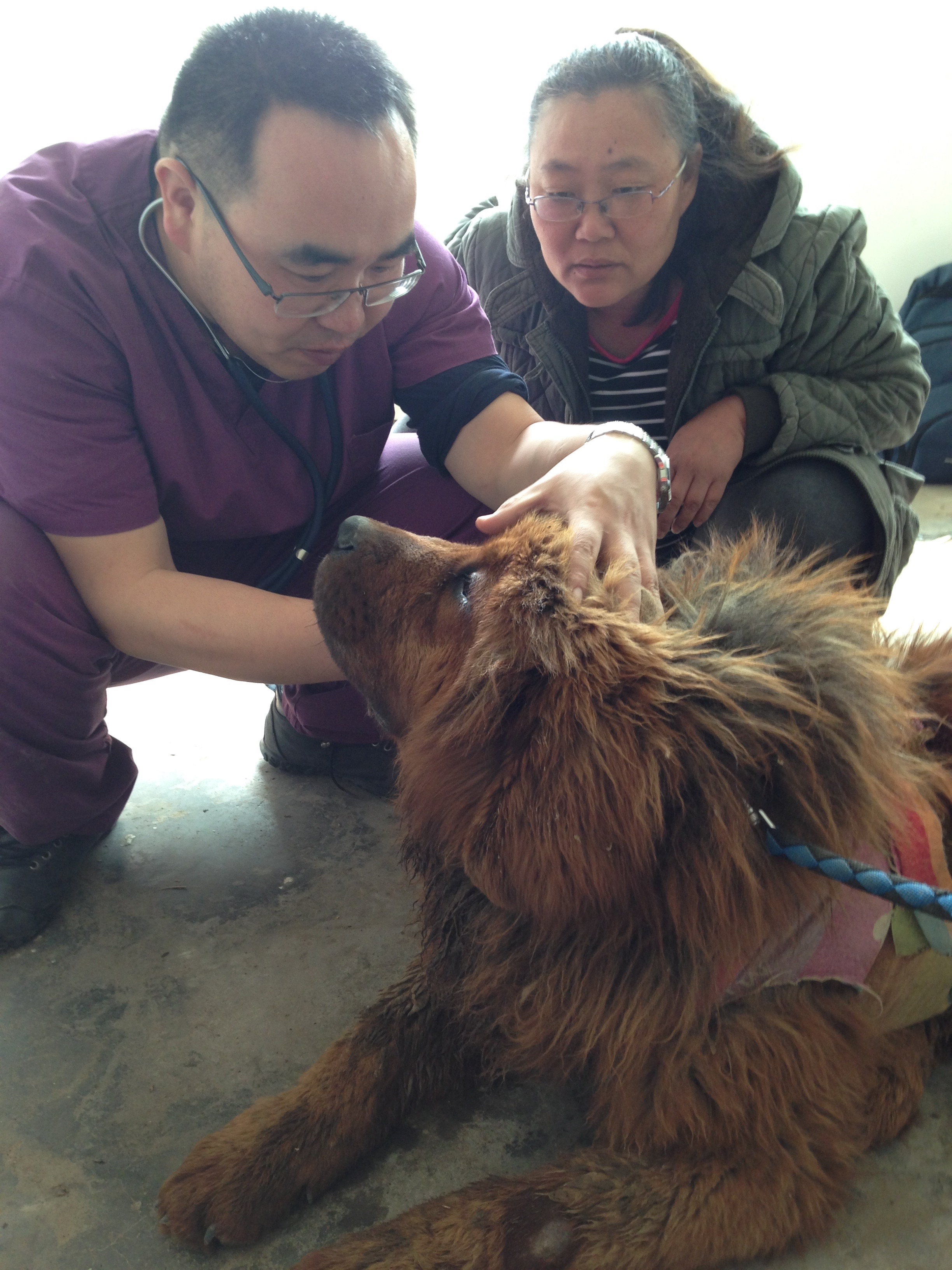 dr. wang  mastiff shelter